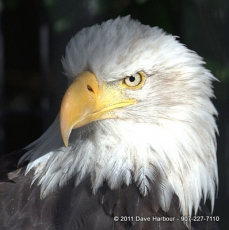 Bald Eagle by Dave Harbour IMG_6265 8-6-2011 12-32-55 PM 8-6-2011 12-32-55 PM 8-6-2011 12-34-38 PM.CR2