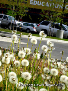 Anchorage School District Dandelions