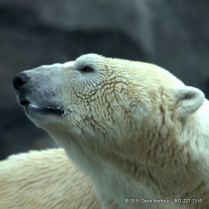 Polar Bear by Dave Harbour 6-12-11 -left-0018 3202x3204.CR2